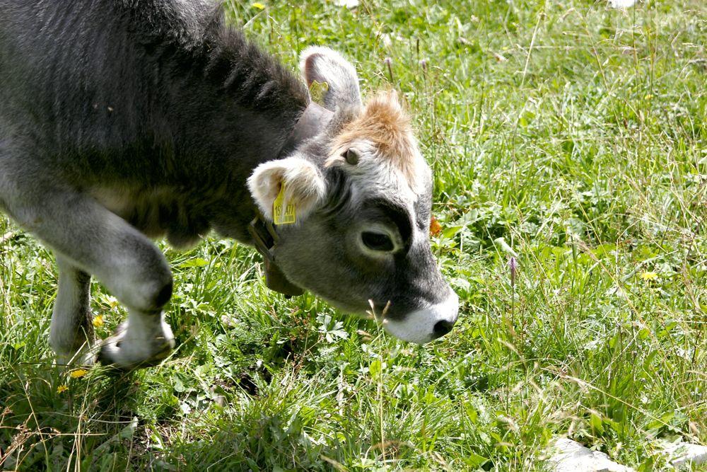 Zwischen Kuhglocken und Käse: Almen im Vinschgau