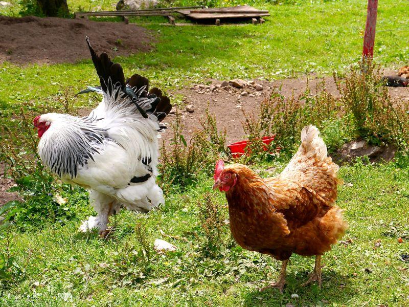 Brahmas-Hühner. Deren Eier werden zu leckeren Spätzle verarbeitet in der Menzenschwander Hütte