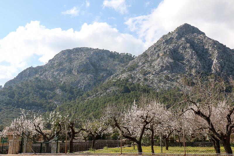 Mandelbluete Mallorca