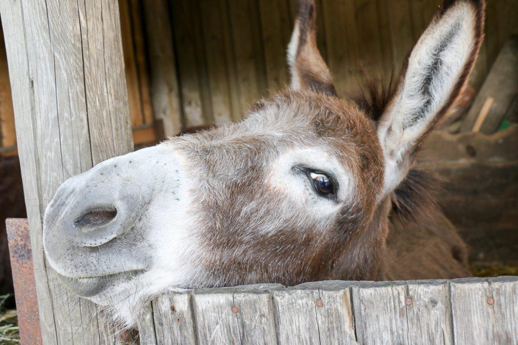 Wandern mit dem Esel im Bliesgau