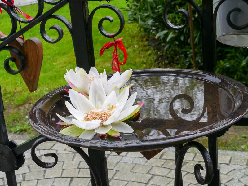 Seerose im Garten des Cafés am Schlossplatz in Wolfegg