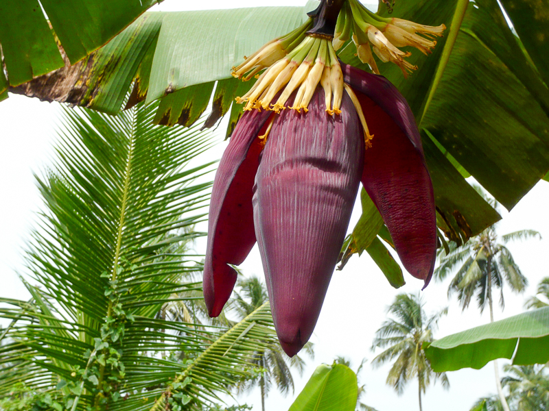 BananenblüteZanzibar