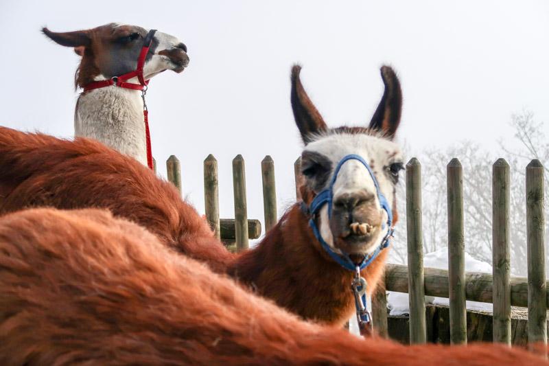 Bill, das älteste Tier der Herde, kam mit sechs Monaten aus Südamerika ins Montafon