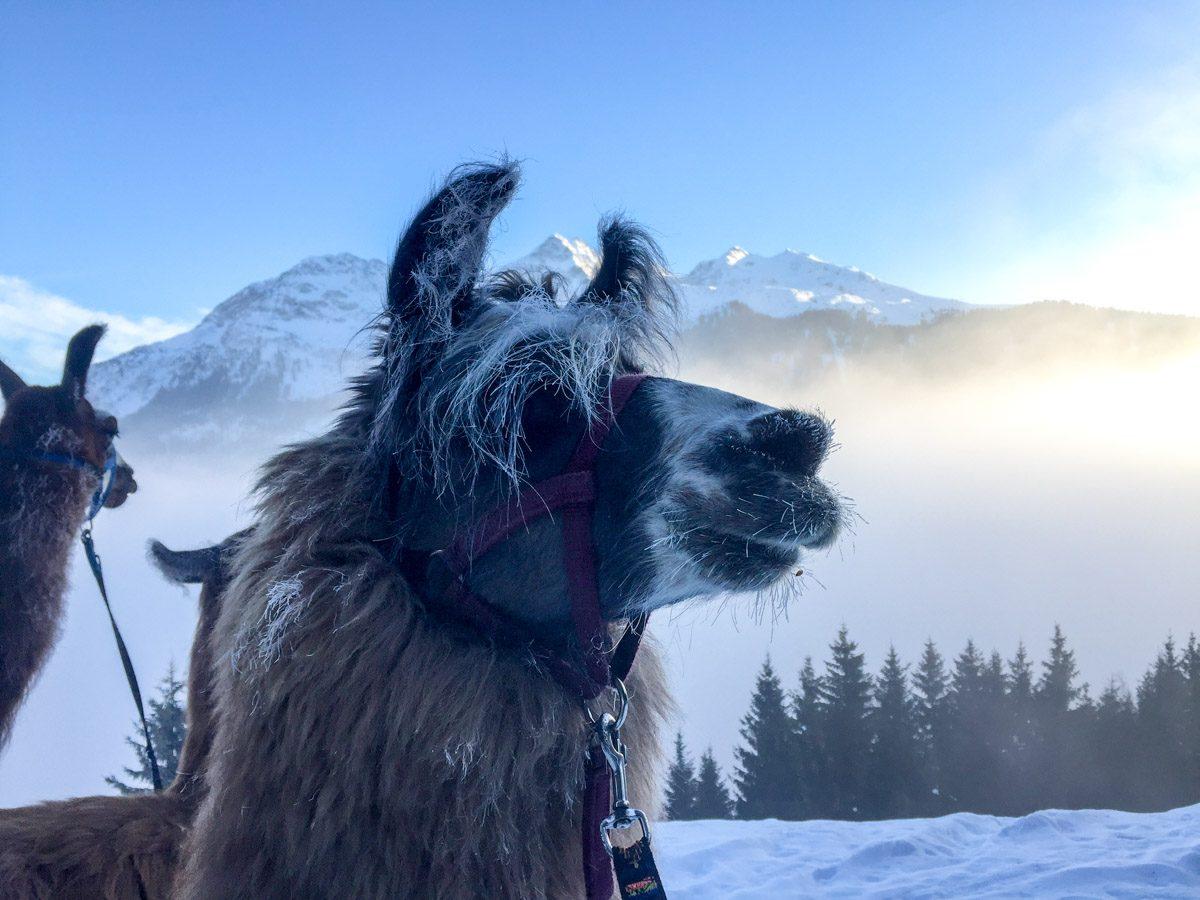 Lama-Trekking am Kristberg