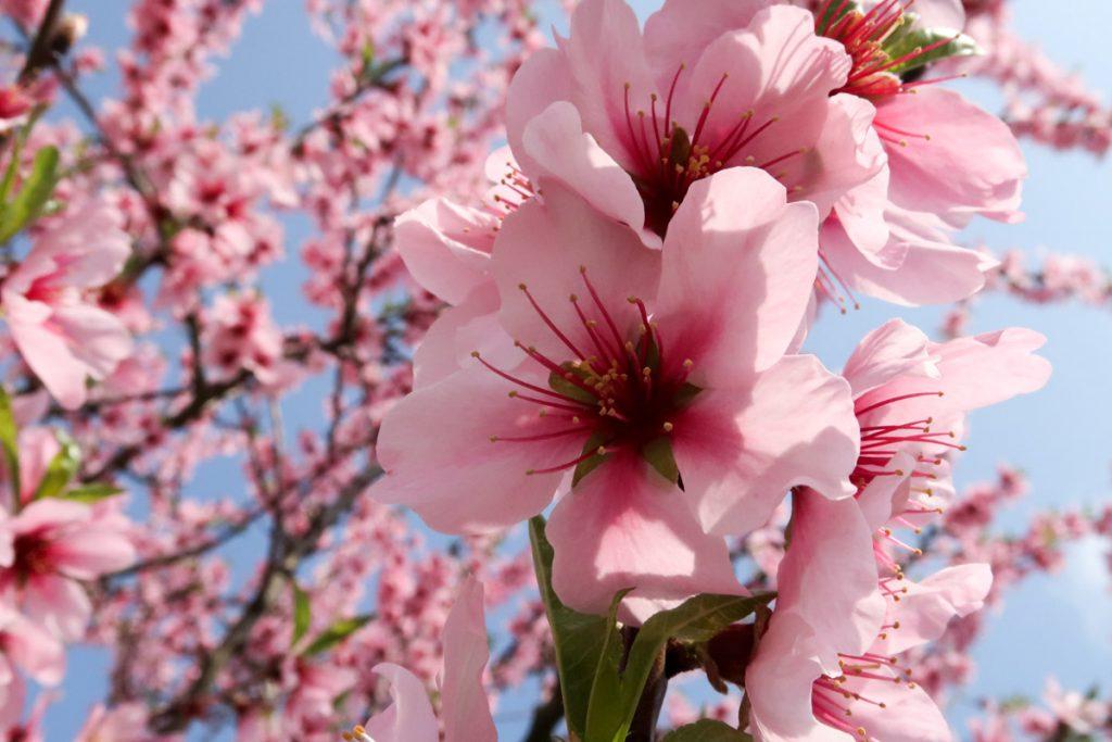 Dresscode Rosa: Wellness-Wochenende im Mandelblütenrausch