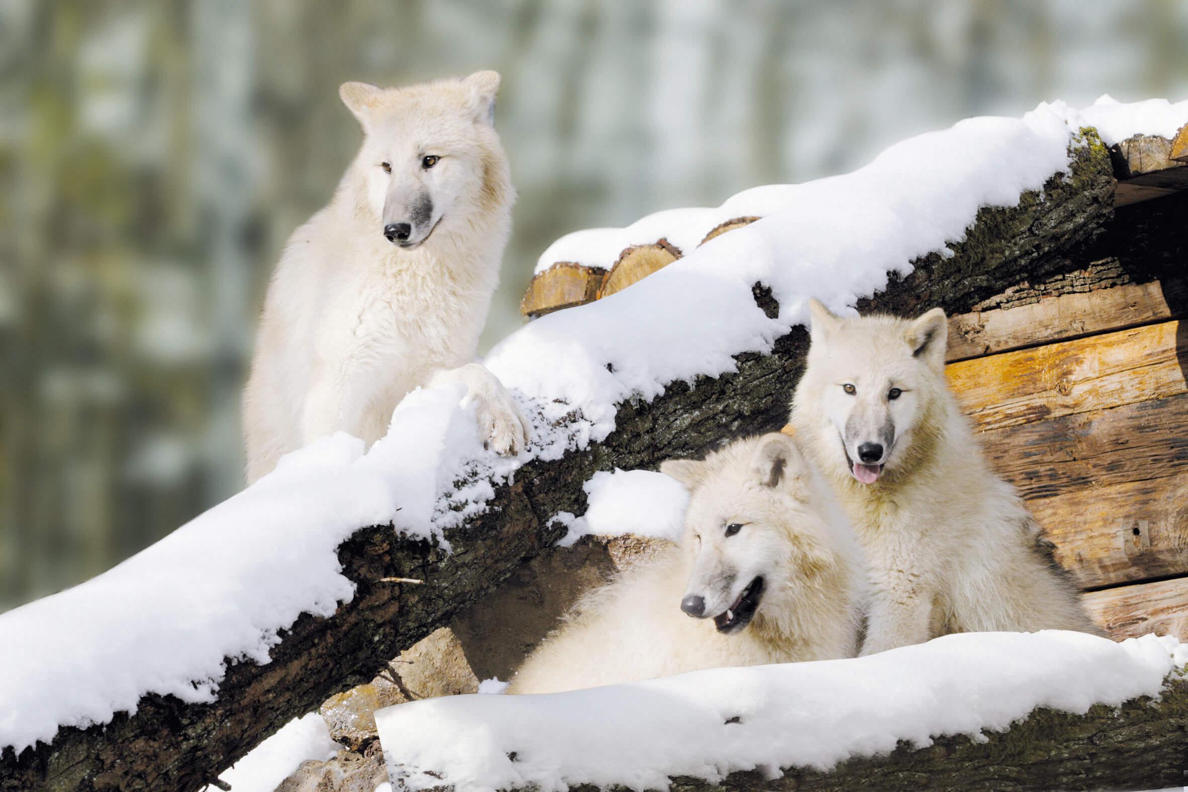 Polarwölfe Tripsdrill