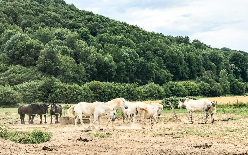Percherons, die kräftigen Pferde der Perche