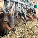Die kleinsten Ziegen im Stall der Ferme de Cabrioles
