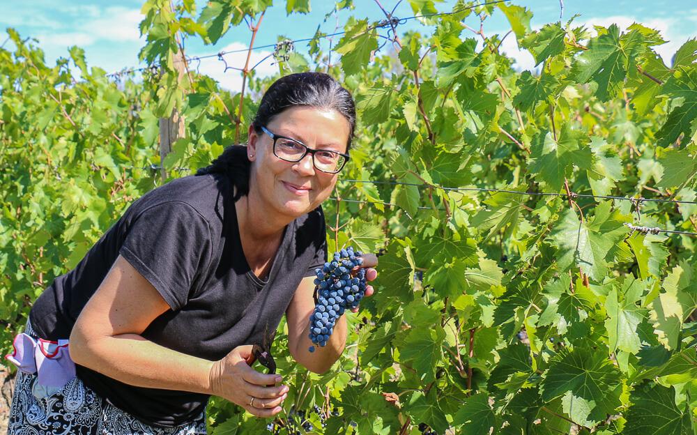 Weinlese in der Emilia Romagna
