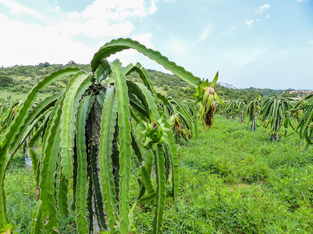 Drachenfruchtplantage #muine #vietnam #fernreise #delicious_travel