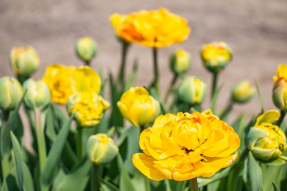 gelbe Tulpen, Tulpenroute Flevoland