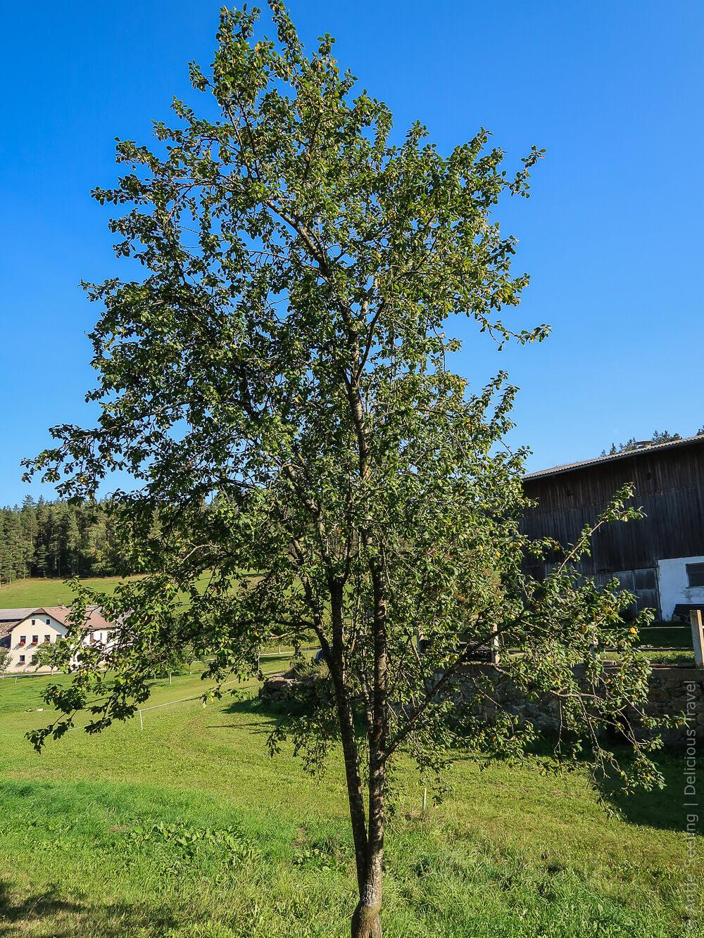 Kriecherl-Baum