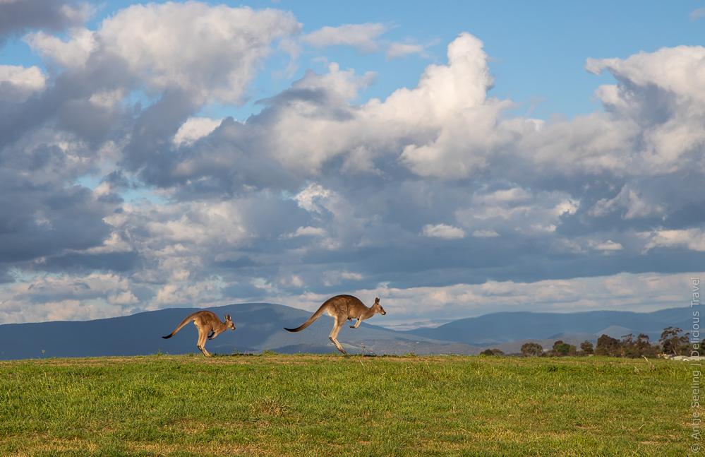 Kängurus im Yarra Valley