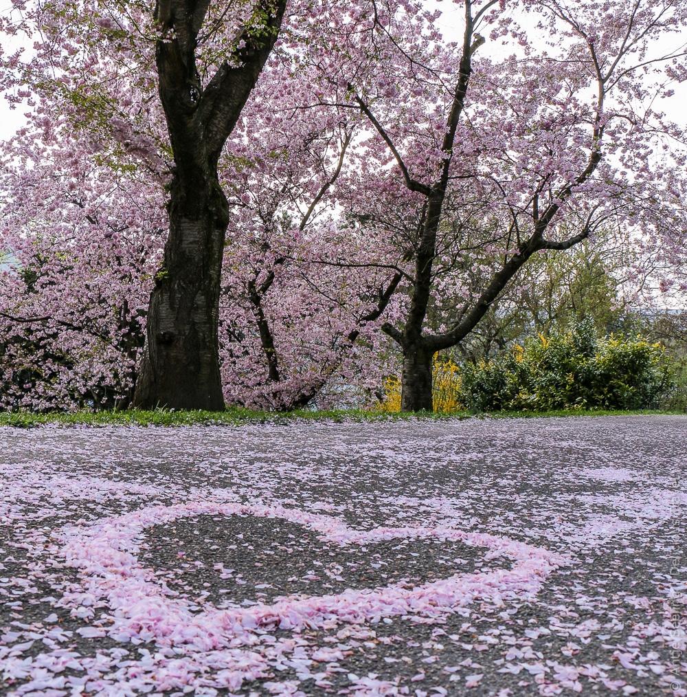 Kirschblüte im Pomeranzengarten Leonberg